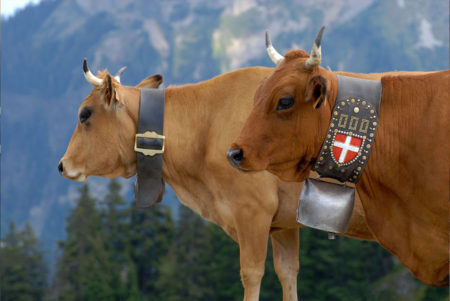 vaches-de-race-tarine-1