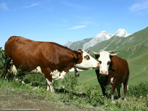vache-bisous-photo-lakoop